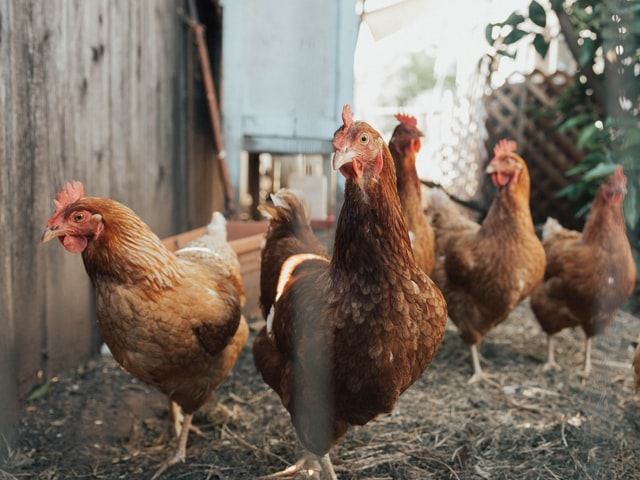 Nombreuses poules à proximité d'un grillage
