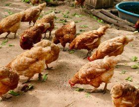 Nombreuses poules dans un poulailler à la campagne