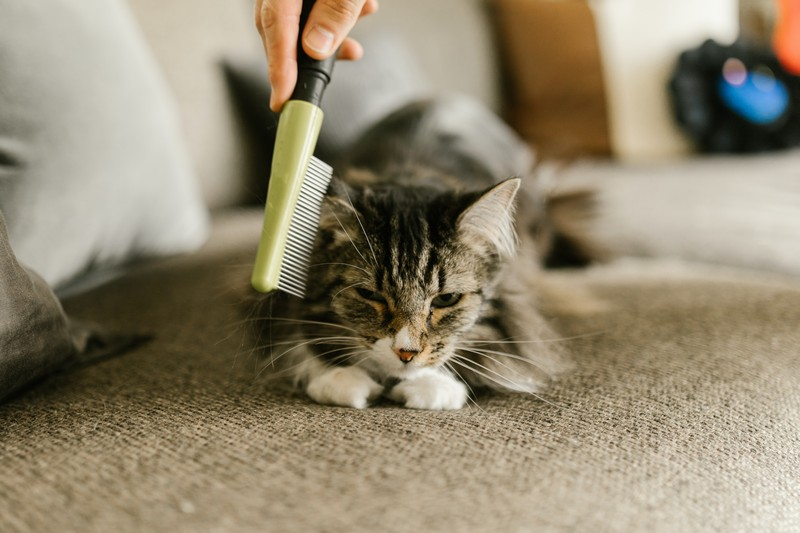 chat qui se fait brosser